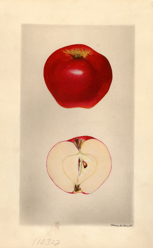Apples, Seedling Apple No. 49