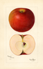 Apples, Peasgood Nonesuch