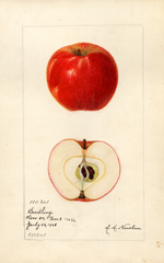 Apples, Seedling No. 66 (1928)