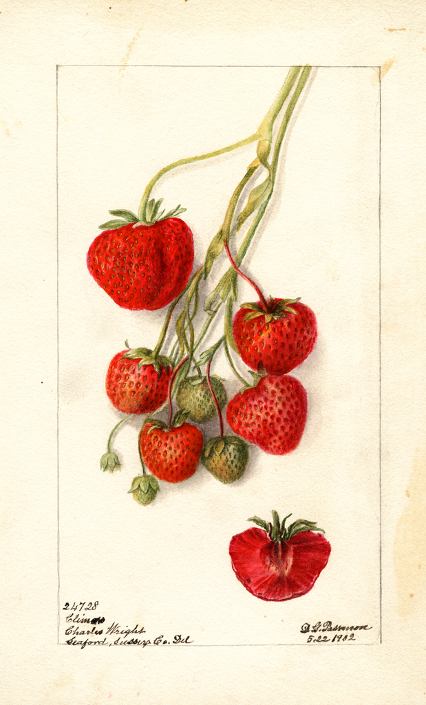 Strawberries, Climan (1902)