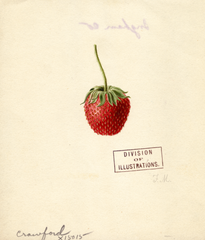 Strawberries, Crawford (1891)