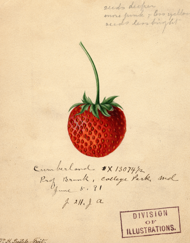 Strawberries, Cumberland (1891)