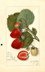 Strawberries, Danby (1913)