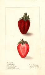 Strawberries, Heritage (1908)