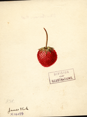 Strawberries, James Vick (1891)