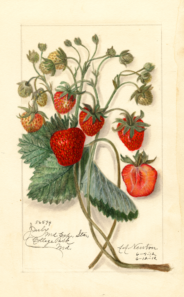 Strawberries, July (1912)