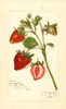 Strawberries, Kellogg Prize (1915)