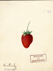 Strawberries, Kentucky (1891)
