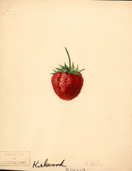 Strawberries, Kirkwood (1891)