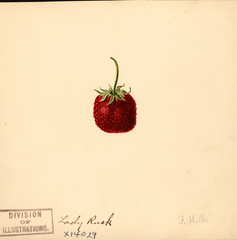 Strawberries, Lady Rusk (1891)