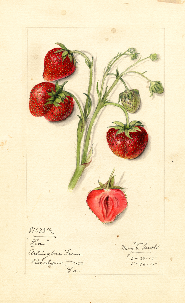 Strawberries, Lea (1915)