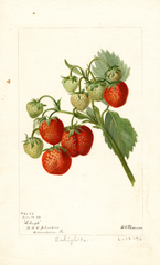 Strawberries, Lehigh (1894)
