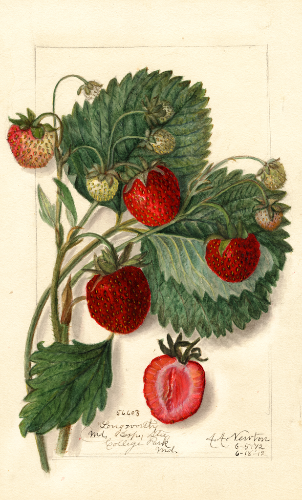 Strawberries, Longworth (1912)