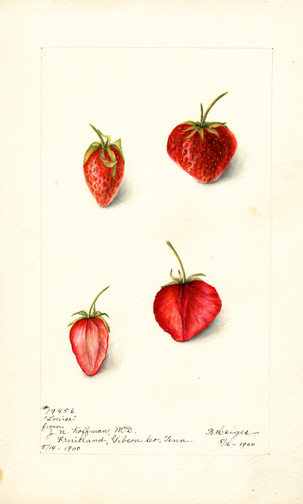 Strawberries, Louise (1900)