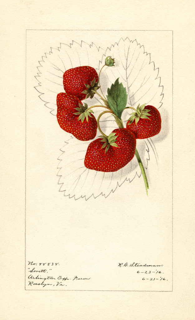 Strawberries, Lovett (1916)
