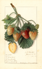Strawberries, M. Crawford (1911)