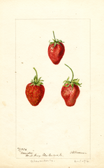 Strawberries, Maida (1896)