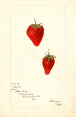 Strawberries, Maida (1897)