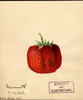 Strawberries, Mammoth (1891)