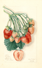 Strawberries, Manhattan (1911)