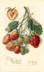 Strawberries, Marshall (1911)