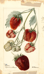 Strawberries, Marshall