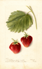Strawberries, Marshall (1904)