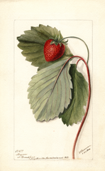 Strawberries, Maynor (1900)