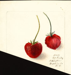 Strawberries, Mckinley (1900)
