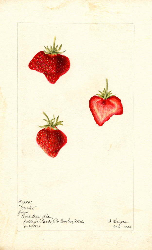 Strawberries, Meeks (1900)