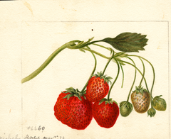 Strawberries, Michel (1894)