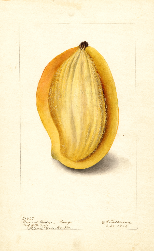 Mangoes, General Gordon (1904)
