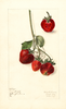 Strawberries, Mount Vista (1909)