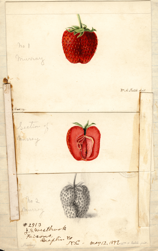 Strawberries, Murray (1892)