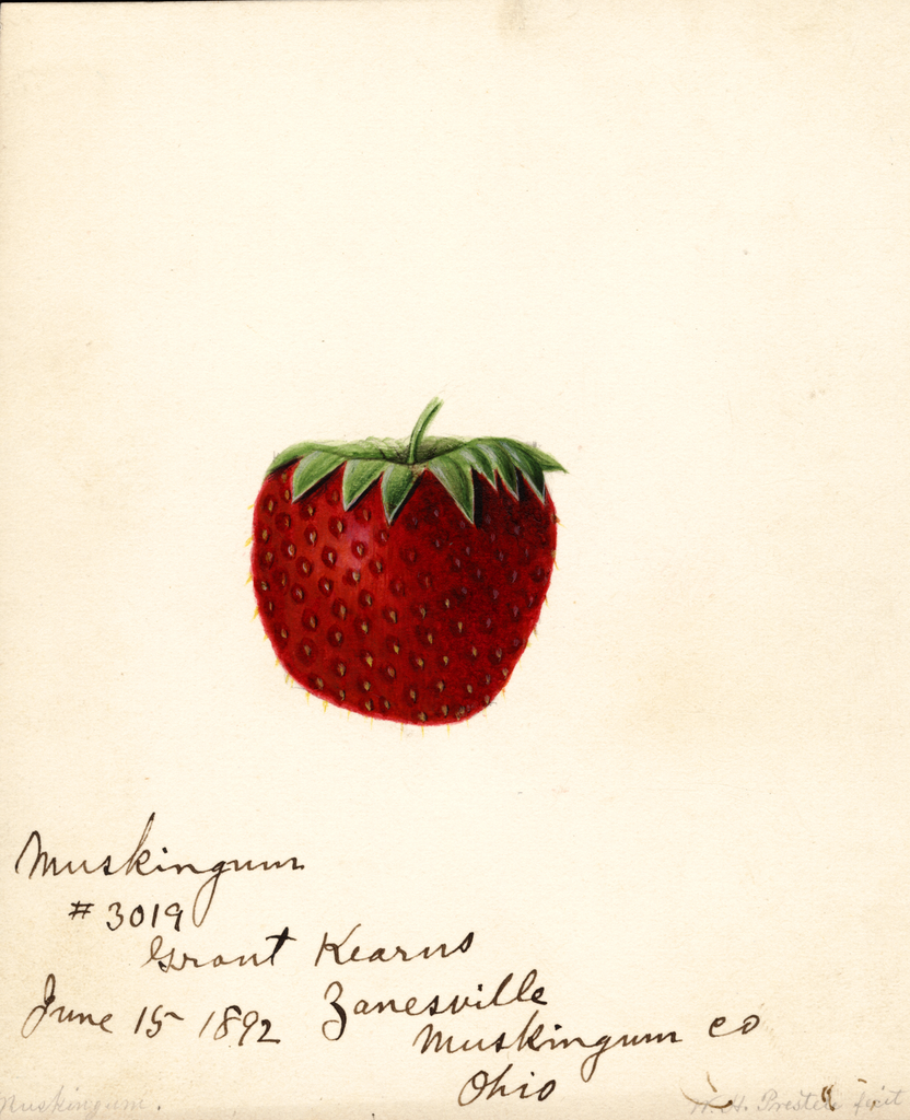 Strawberries, Muskingum (1892)