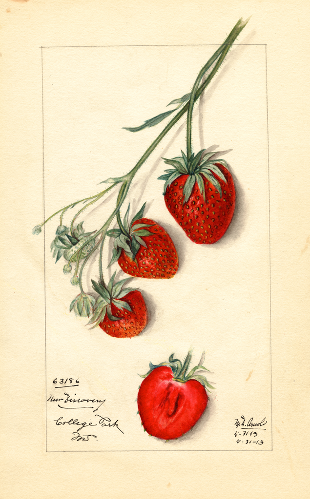 Strawberries, New Discovery (1913)