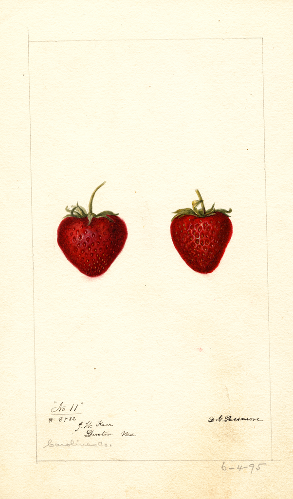 Strawberries, No. 11 (1895)