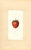 Strawberries, Northstar (1938)