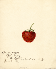 Strawberries, Omega (1892)