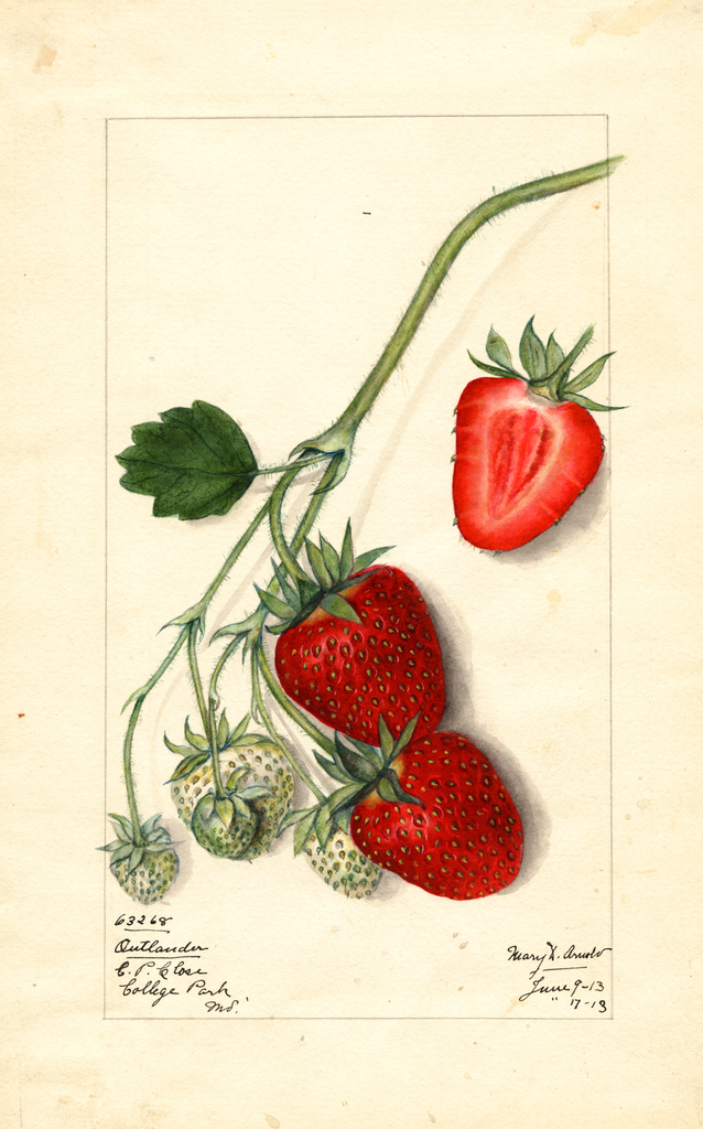 Strawberries, Outlander (1913)