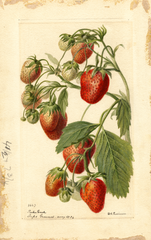 Strawberries, Parker Earle (1894)