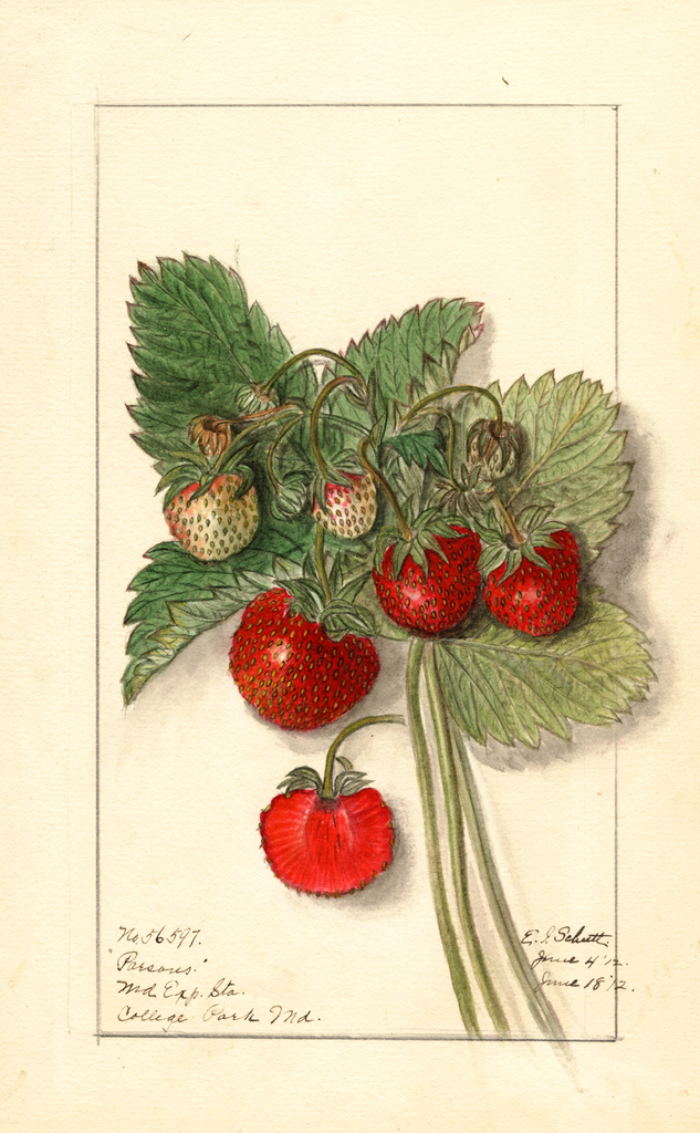Strawberries, Parsons (1912)
