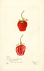 Strawberries, Parsons (1901)