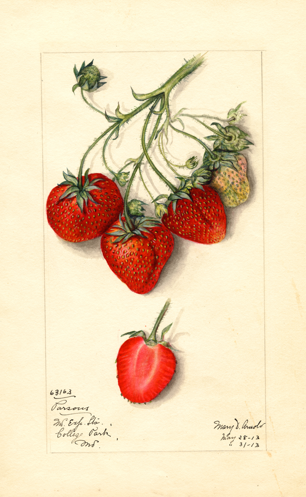 Strawberries, Parsons (1913)