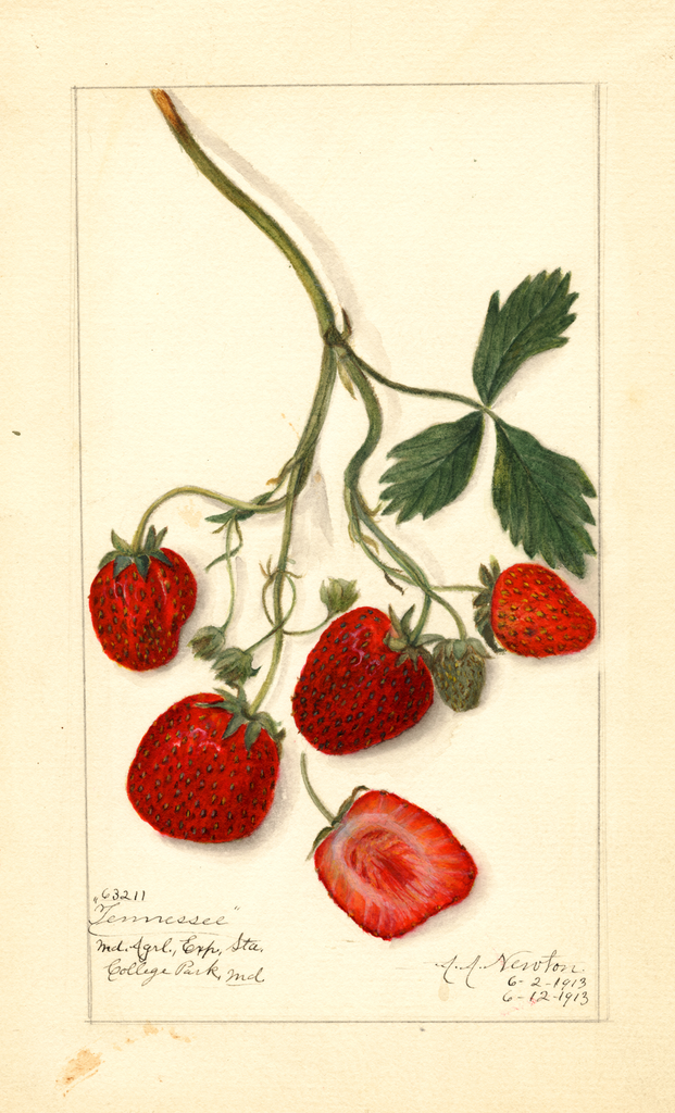 Strawberries, Tennessee (1913)
