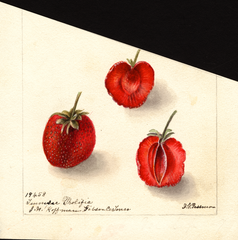 Strawberries, Tennessee Prolific (1900)