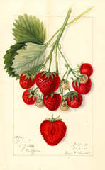 Strawberries, Texas (1911)