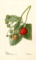 Strawberries, Thompson (1901)