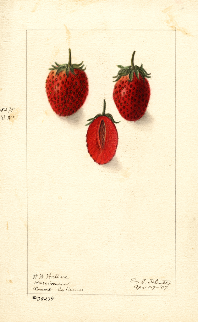Strawberries, Three W (1907)