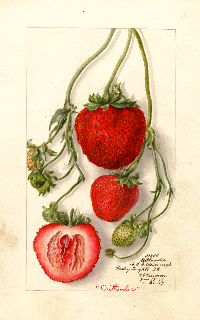 Strawberries, Outlander (1907)